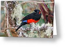 Scarlet-bellied Mountain-tanager Greeting Card