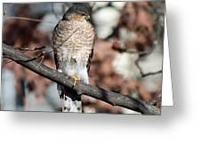 Sharp-shinned Hawk 2 Greeting Card