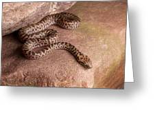 Spotted Python Antaresia Maculosa Greeting Card