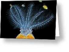 Stephanoceros Fimbriatus Rotifer Greeting Card