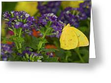 Sulphur Butterfly In The Phoebis Family Greeting Card