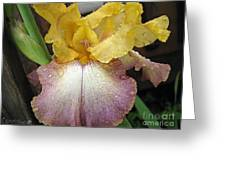 Tall Bearded Iris Named Butterfingers Greeting Card