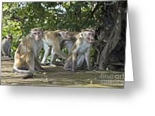 Toque Macaques Greeting Card