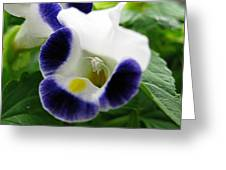 Torenia From The Duchess Mix Greeting Card