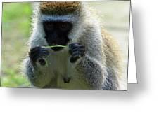 Vervet Monkey Greeting Card