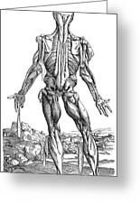 Vesalius: Muscles, 1543 Greeting Card