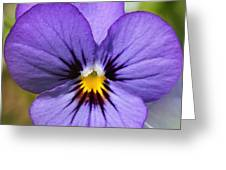Viola Named Sorbet Blue Heaven Jump-up Greeting Card