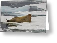 Walrus Resting On Ice Floe Greeting Card