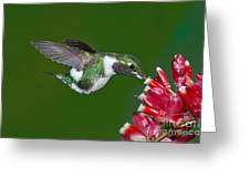 White-bellied Woodstar Greeting Card