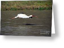 White Ibis In Flight Greeting Card
