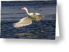 White Morph Redish Egret Greeting Card