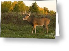 White-tailed Buck In Fall Greeting Card