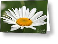Wildflower Named Oxeye Daisy Greeting Card