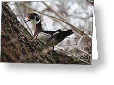 Wood Duck Greeting Card