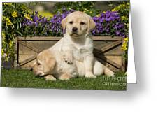 Yellow Labrador Puppies Greeting Card