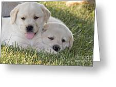 Yellow Labrador Retriever Puppies Greeting Card