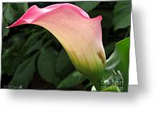 Zantedeschia Named Mozart Greeting Card