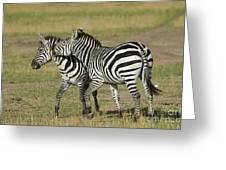 Zebra Males Fighting Greeting Card