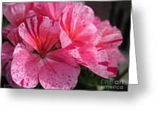 Zonal Geranium Named Avenida Mosaic Purple Greeting Card