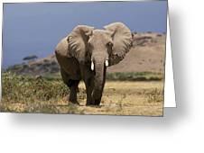 Elephant Dafrique Loxodonta Africana Greeting Card