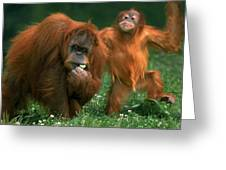 Orang Outan Pongo Pygmaeus Greeting Card