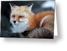 A Red Fox  On The Summit Of Mt Greeting Card