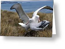 Albatros Royal Diomedea Epomophora Greeting Card