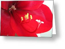 Amaryllis Named Black Pearl Greeting Card