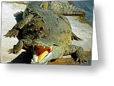 American Crocodile Greeting Card