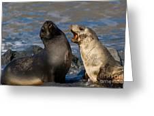 Antarctic Fur Seals Greeting Card