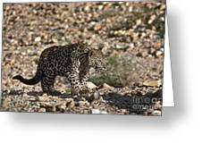 Arabian Leopard Panthera Pardus Greeting Card