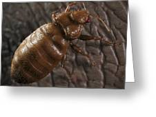 Bedbug Cimex Lectularius Greeting Card