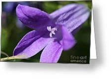 Birch Hybrid Campanula Greeting Card