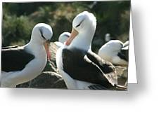Black Browed Albatross Pair Greeting Card