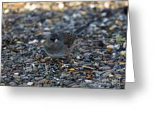 Dark Eyed Junco Greeting Card