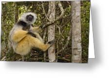 Diademed Sifaka Madagascar Greeting Card
