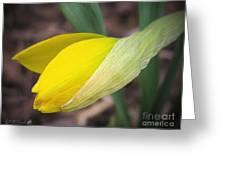 Dwarf Cyclamineus Daffodil Named Jet Fire Greeting Card