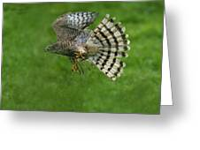 Epervier Deurope Accipiter Nisus Greeting Card