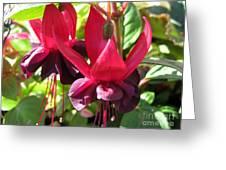 Fuchsia Named Roesse Blacky Greeting Card
