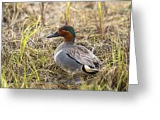 Greenwing Teal Greeting Card