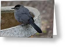 Grey Catbird Greeting Card