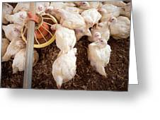 Hens Feeding From A Trough Greeting Card