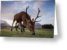 Highland Deer Greeting Card