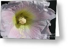 Hollyhock Named Indian Spring Pink Greeting Card