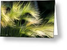 Hordeum Jubatum Grass Greeting Card