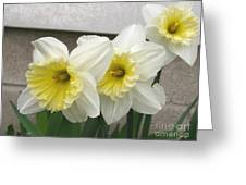 Large-cupped Daffodil Named Ice Follies Greeting Card