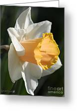 Large-cupped Daffodil Named Mrs. R.o. Backhouse Greeting Card