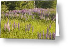 Maine Wild Lupine Flowers Greeting Card