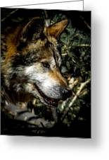 Mexican Grey Wolf Greeting Card