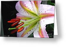 Oriental Lily Hybrid Named Mojave Greeting Card